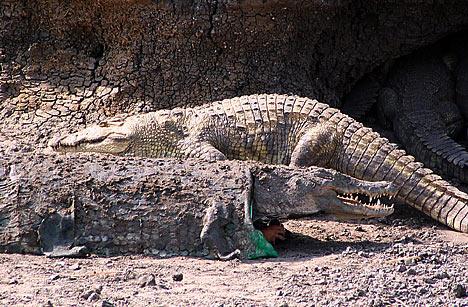 croc-disguise.jpg